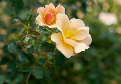 Chinook Sunrise rose
