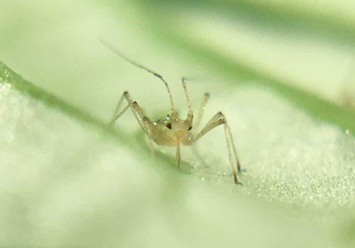 Biocontrol aphid