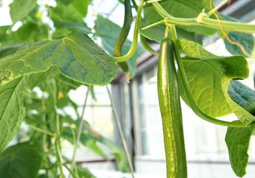 High wire cucumber harvester