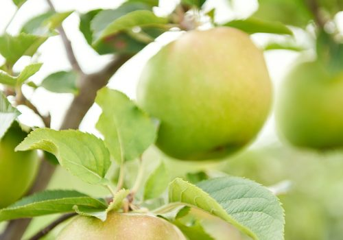 Plant Variety Development - Apples