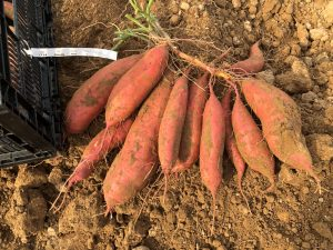 Radiance sweet potato harvested in the field during a maturity trial
