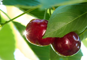 Early ripening cherry developed at the University of Guelph and being commercialized by Vineland