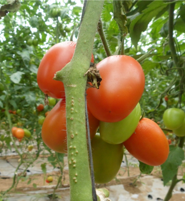 36th Annual Tomato Disease Workshop